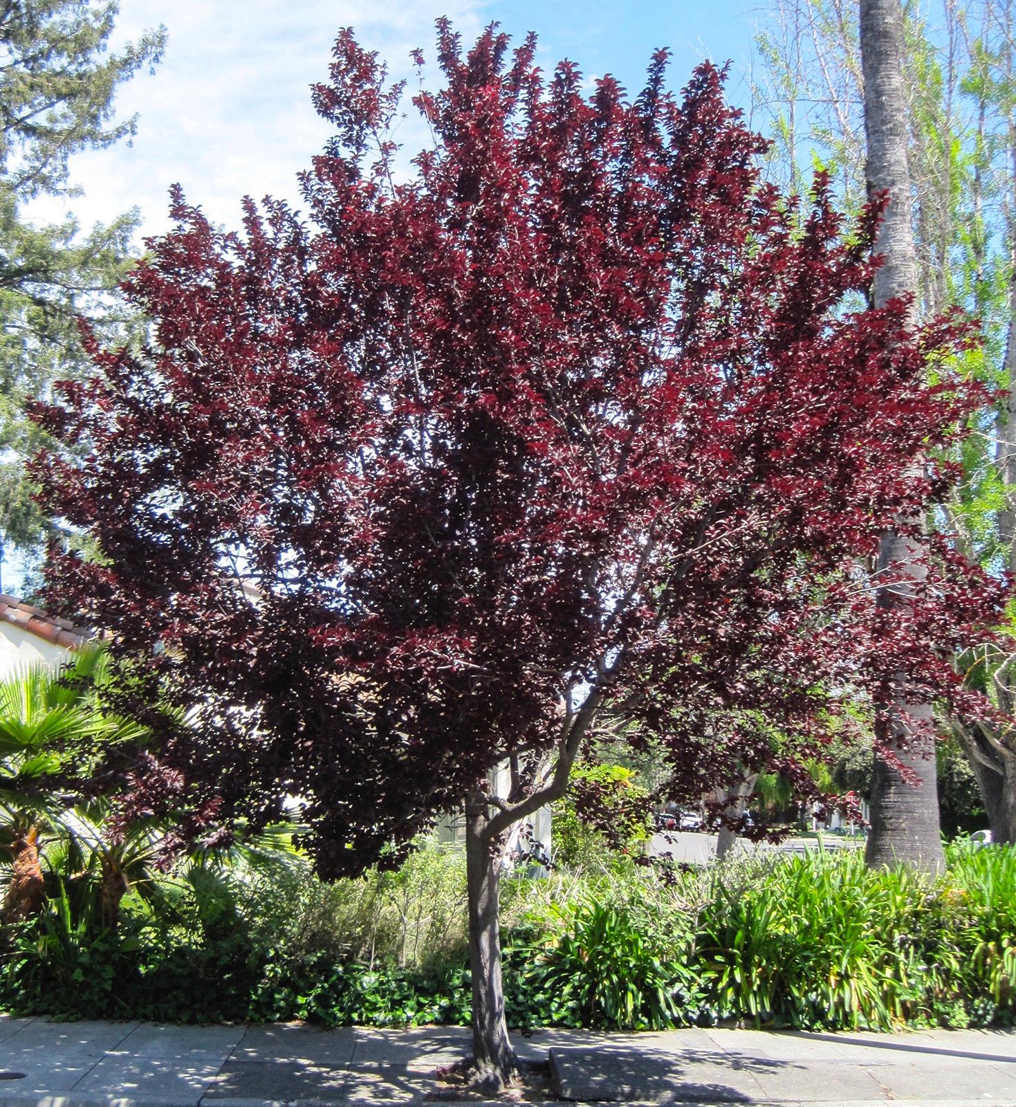 Purpleleaf Plum