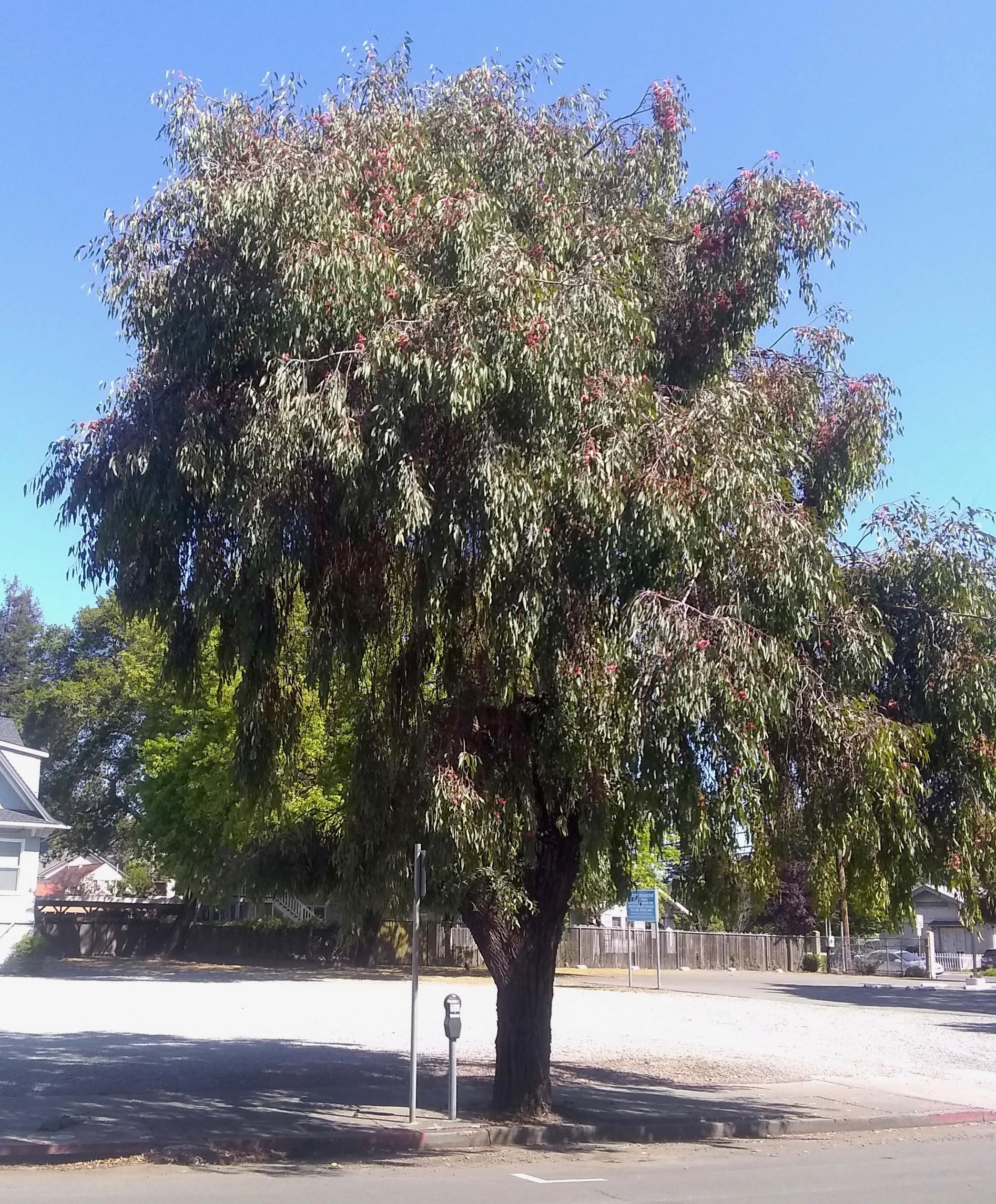 Eucalyptus sideroxylon (Rediron Bark)